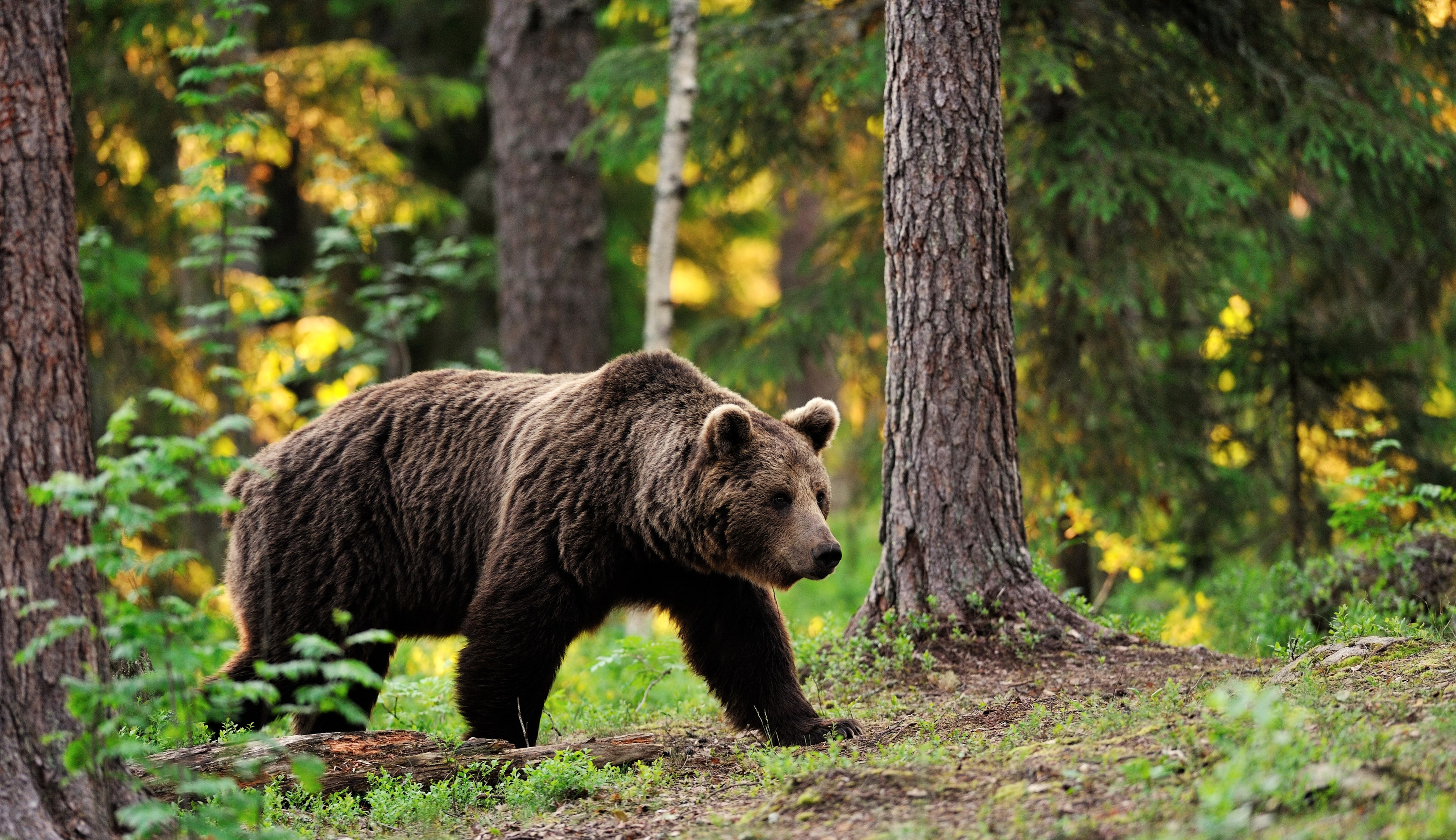 Quanto dura lorso? quanti orsi vivono