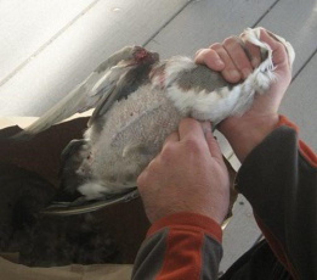 как обработать утку от перьев
